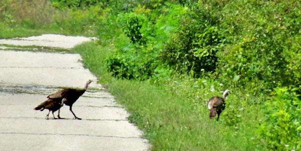 Wilde Puten in Michigan kreuzen den Weg.